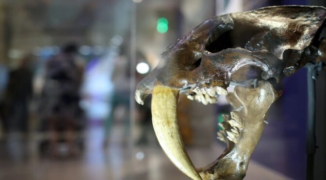 Newly identified American saber-toothed cat species was larger than a tiger and hunted rhinos
