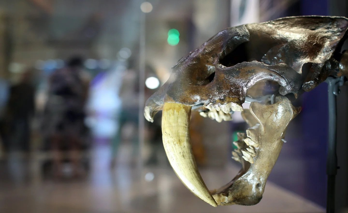 Newly identified American sabre-toothed cat species was larger than a tiger and hunted rhinos