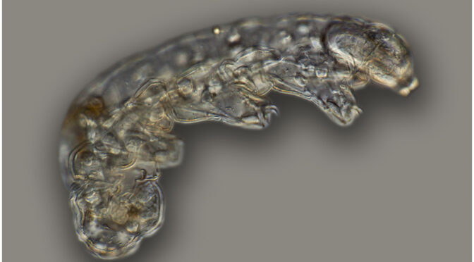 Rare tardigrade fossil found in 16-million-year-old Dominican amber