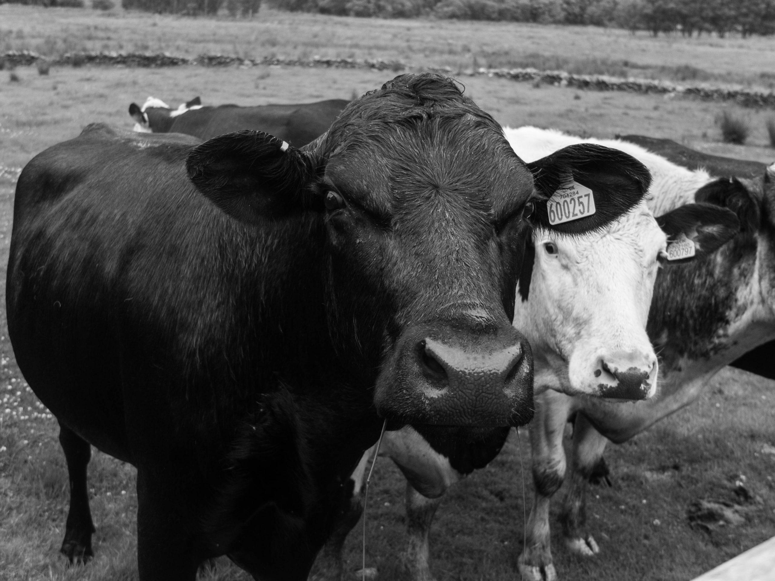 Cows in a field in Harlech