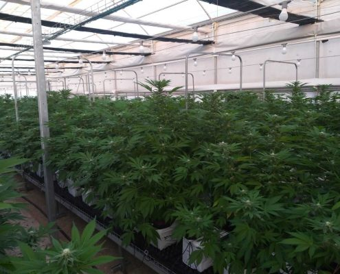Substrat de cannabis