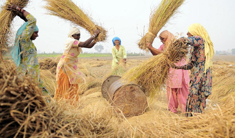 wheat agricultural women