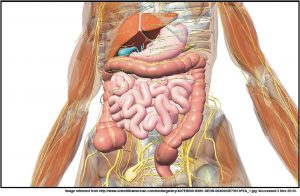 body digestion