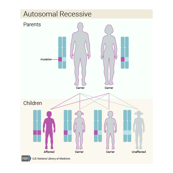 How recessive gene inheritance works
