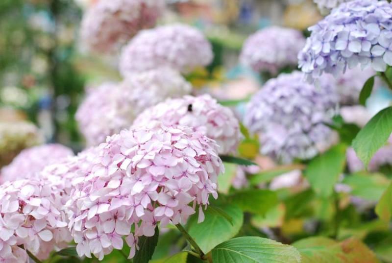 hydrangeas-pink-purple-pastel