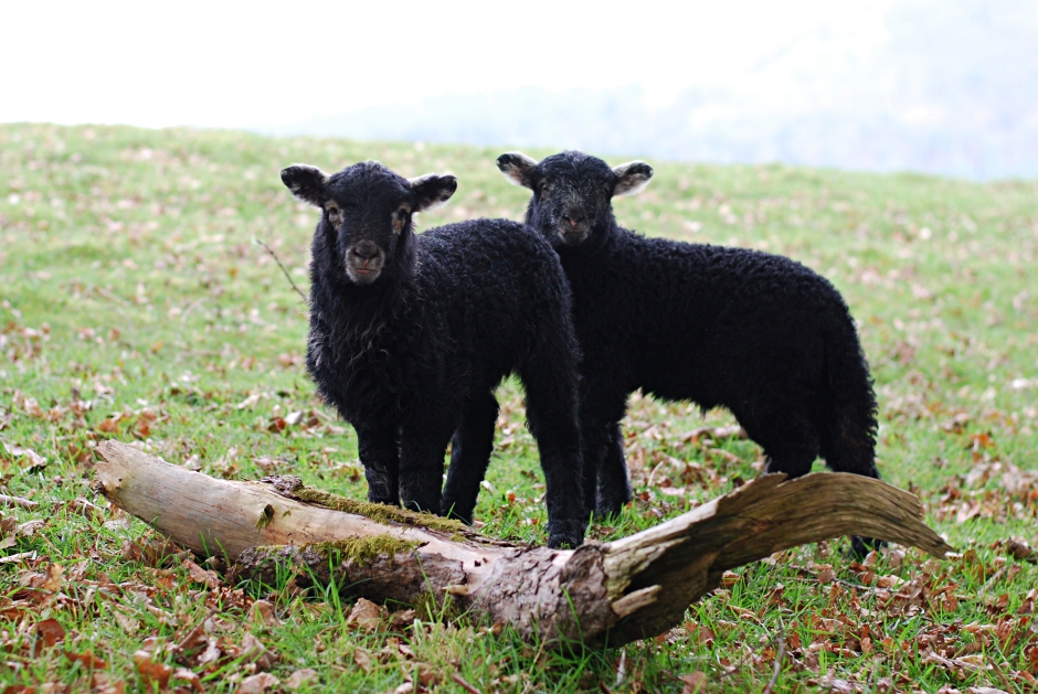 two-black-lamb