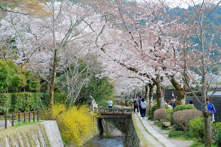 philosophers path cherry blossoms kyoto