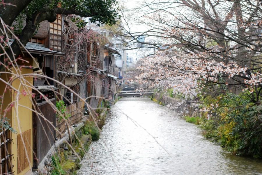 kyoto shimbashi street cherry blossoms