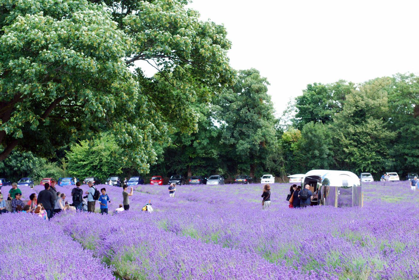 london lavender field