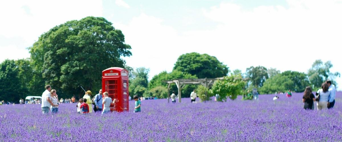 London's Lavender Field: Mayfield