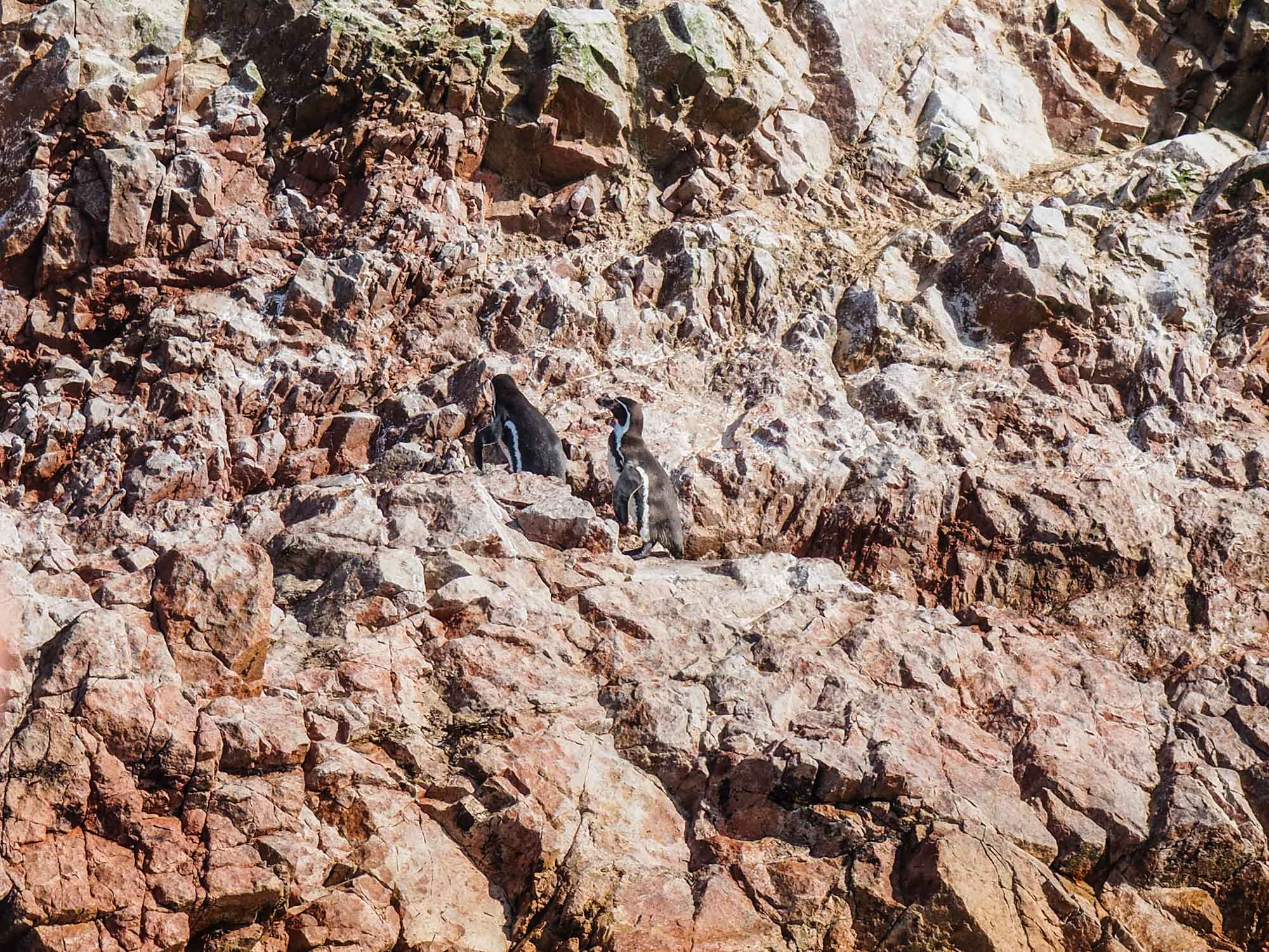 islas ballestas penguins peru