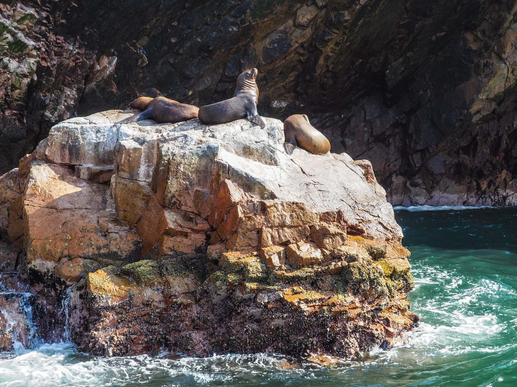islas ballestas sea lions