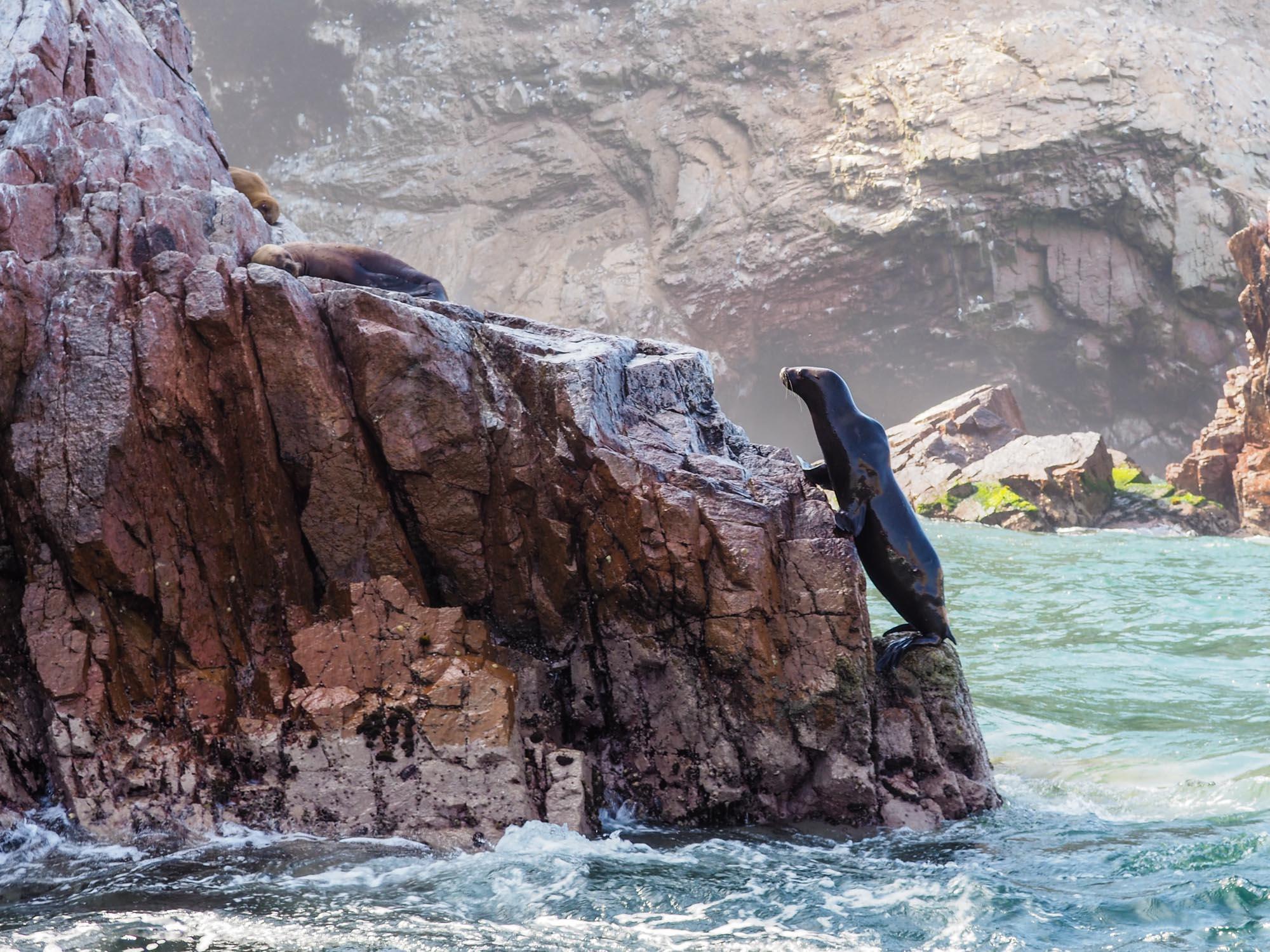 islas ballestas sea lion