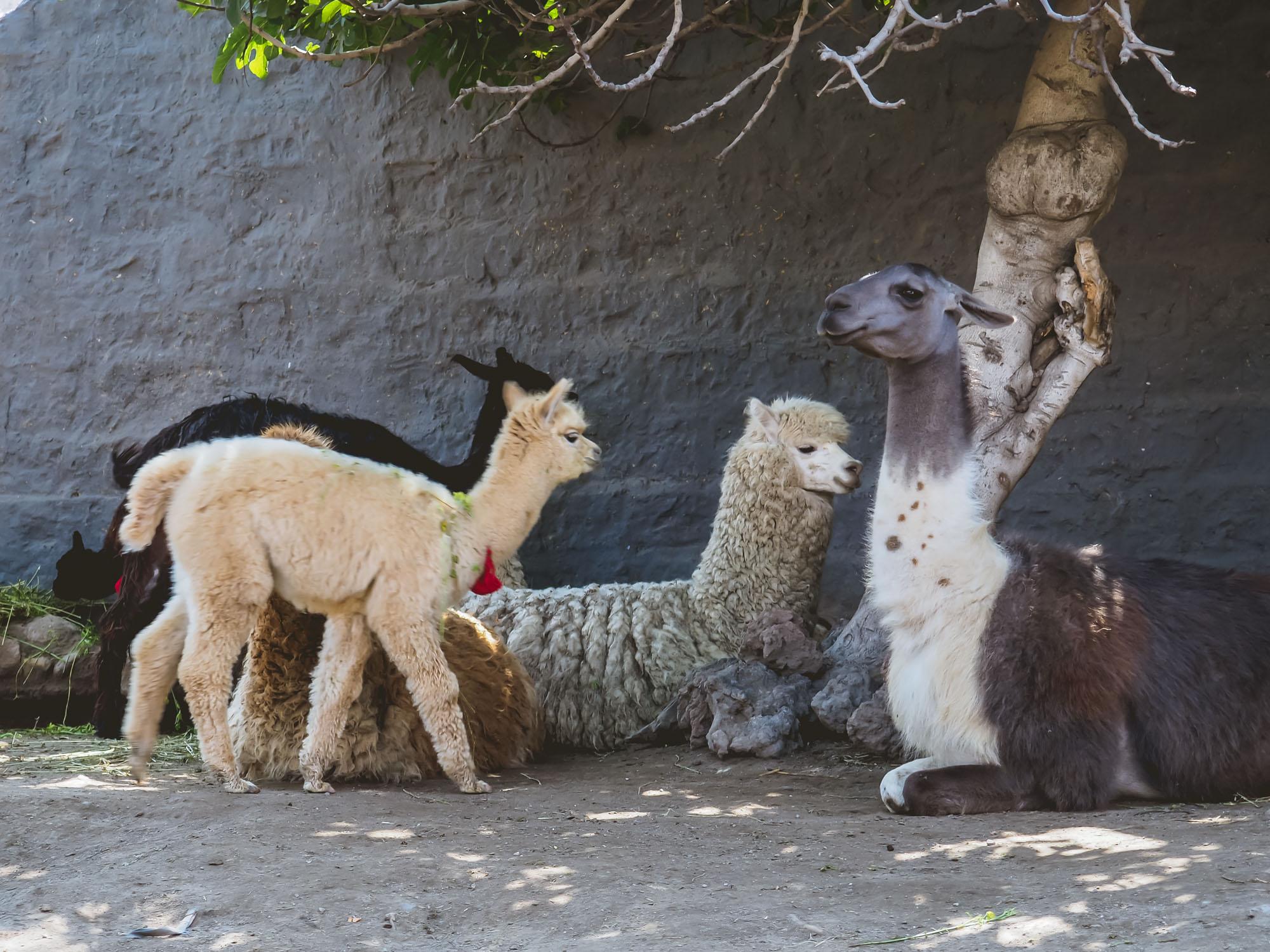 mundo alpaca llamas