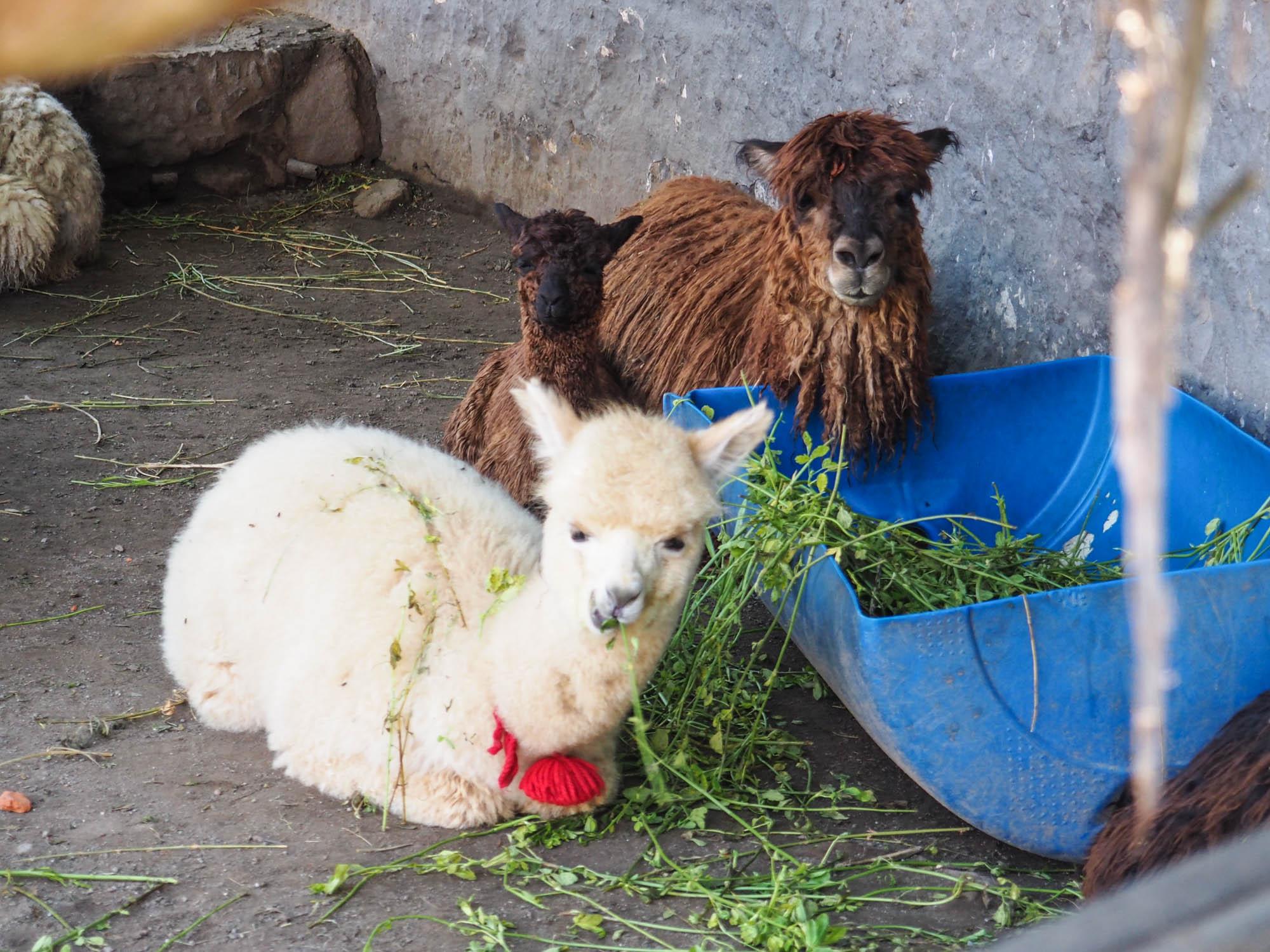 alpacas arequipa peru