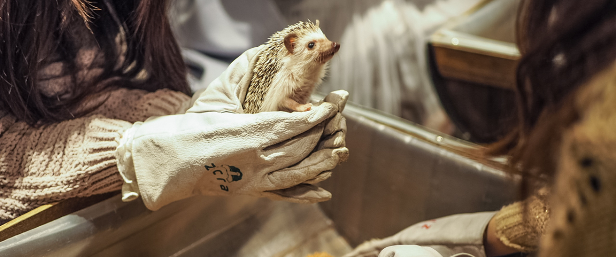 Visiting a Hedgehog Cafe in Tokyo