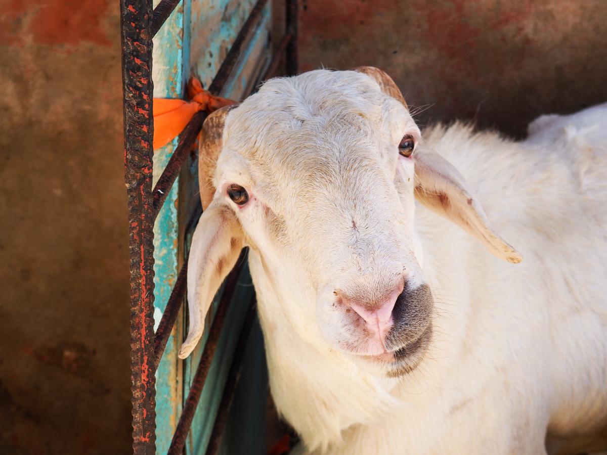 Senegal goat