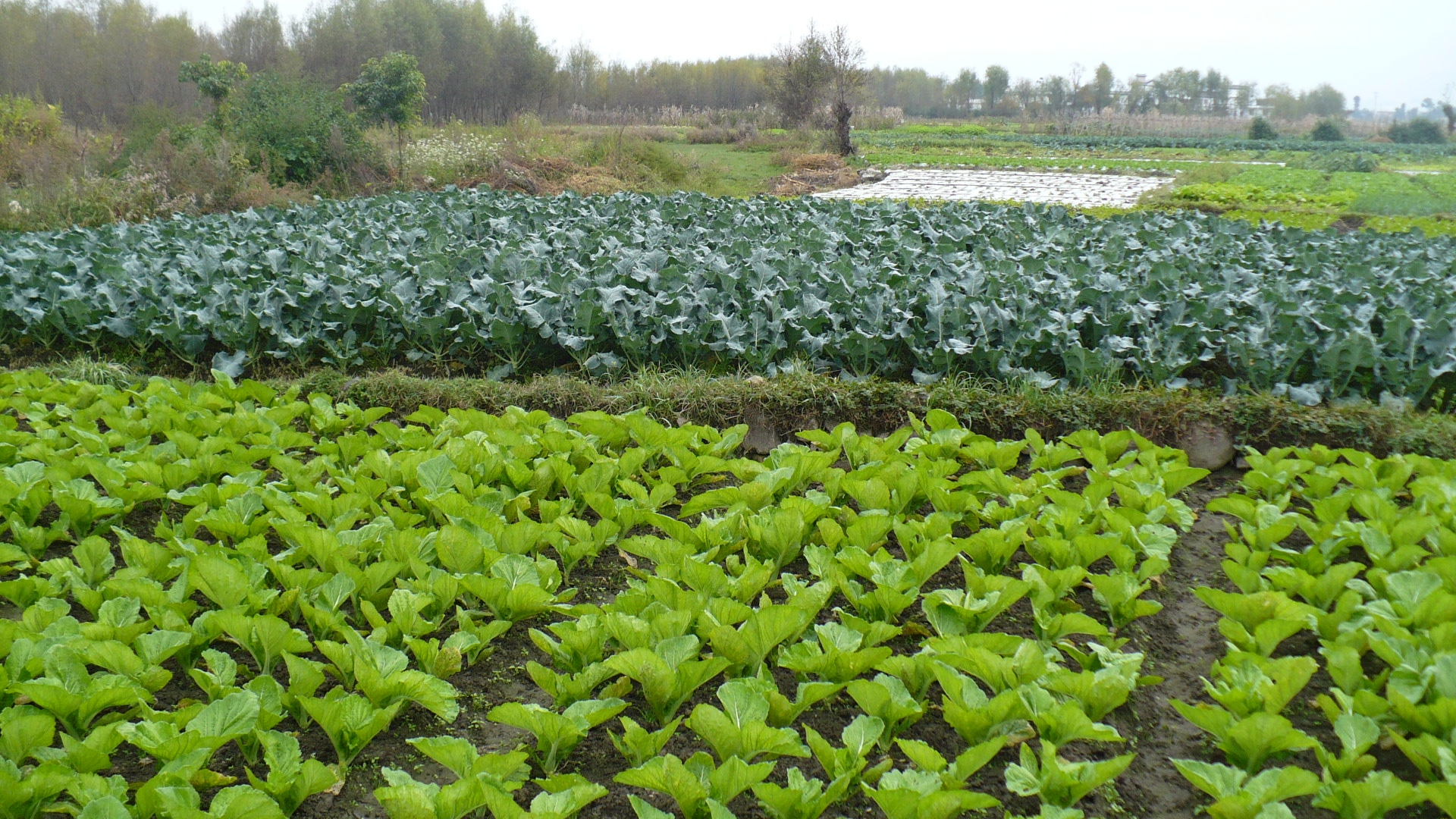 Vegetable_fields_at_Dali_-_panoramio