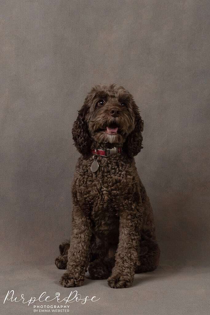 Dog in a photo studio