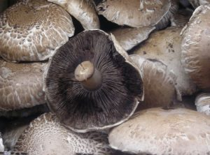 Pile of raw field mushrooms