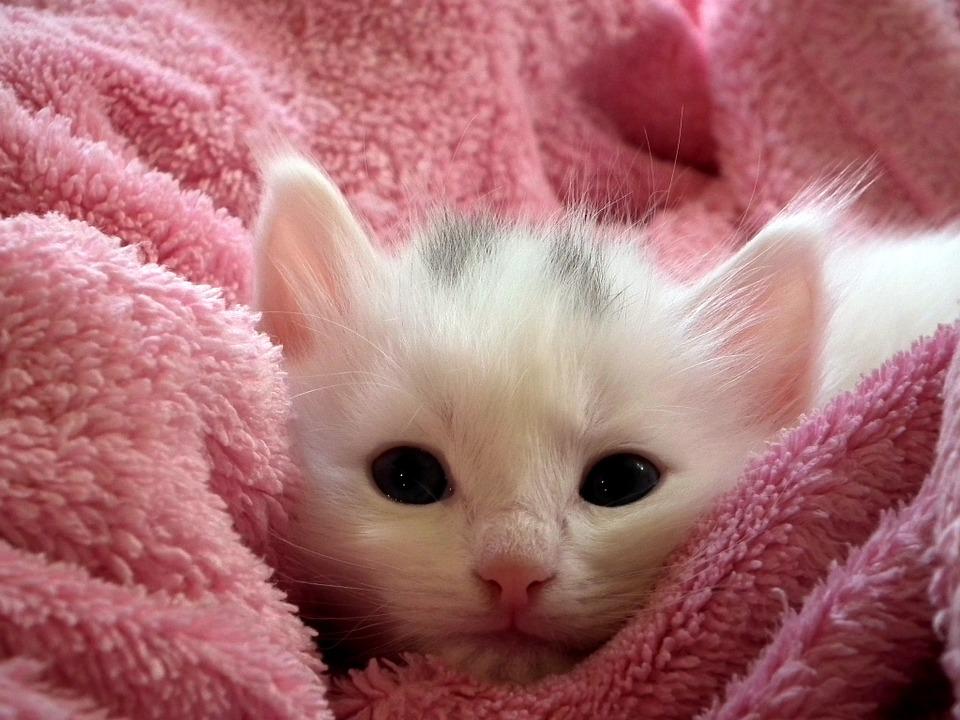 white fluffy kitten in a pink towel