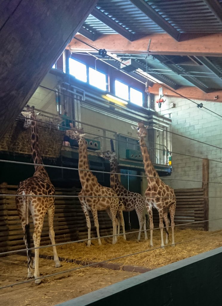 giraffes stood feeding from hay bins above them