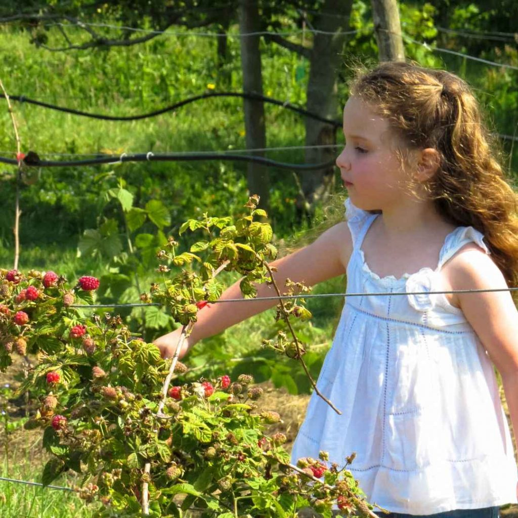 picking fruit for strawberry jam muffins recipe