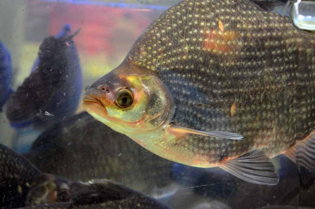 Como es un pescado cultivado, la tilapia tiene muchos contras que aquí te voy a decir
