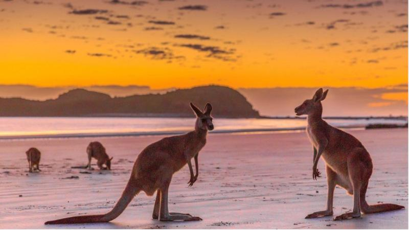 sunrise tour with kangaroos on the beach