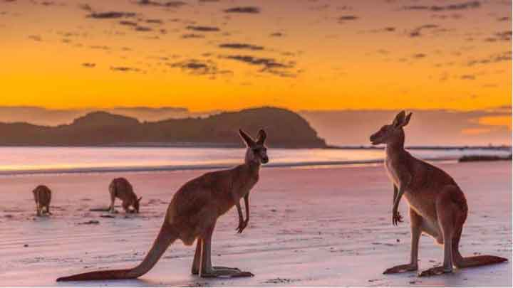 sunrise tour with kangaroos on the beach