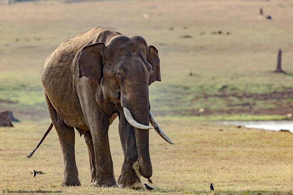 The Calm grazing tusker