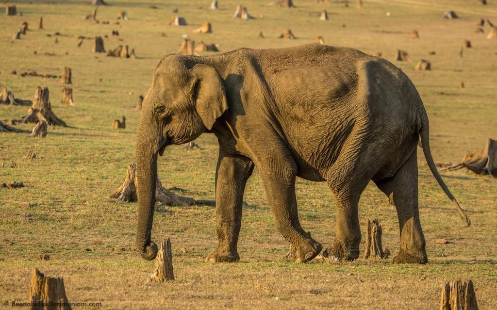 The Indian Elephant Female
