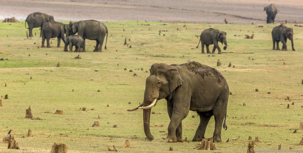 A congregation of Asiatic Elephants on the bank of the Nagarhole National Park