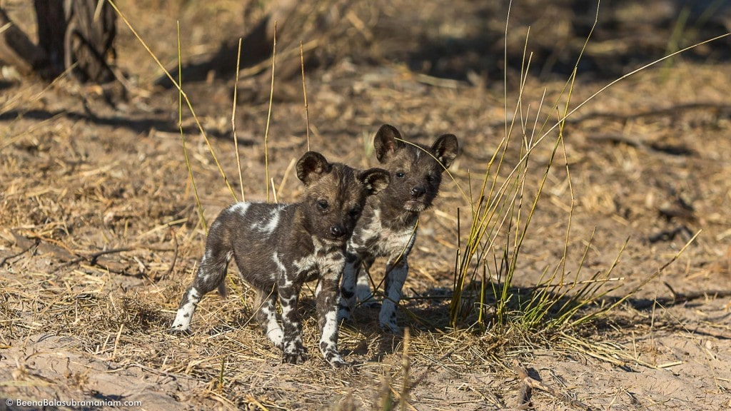 The very young pups of the 2014 litter