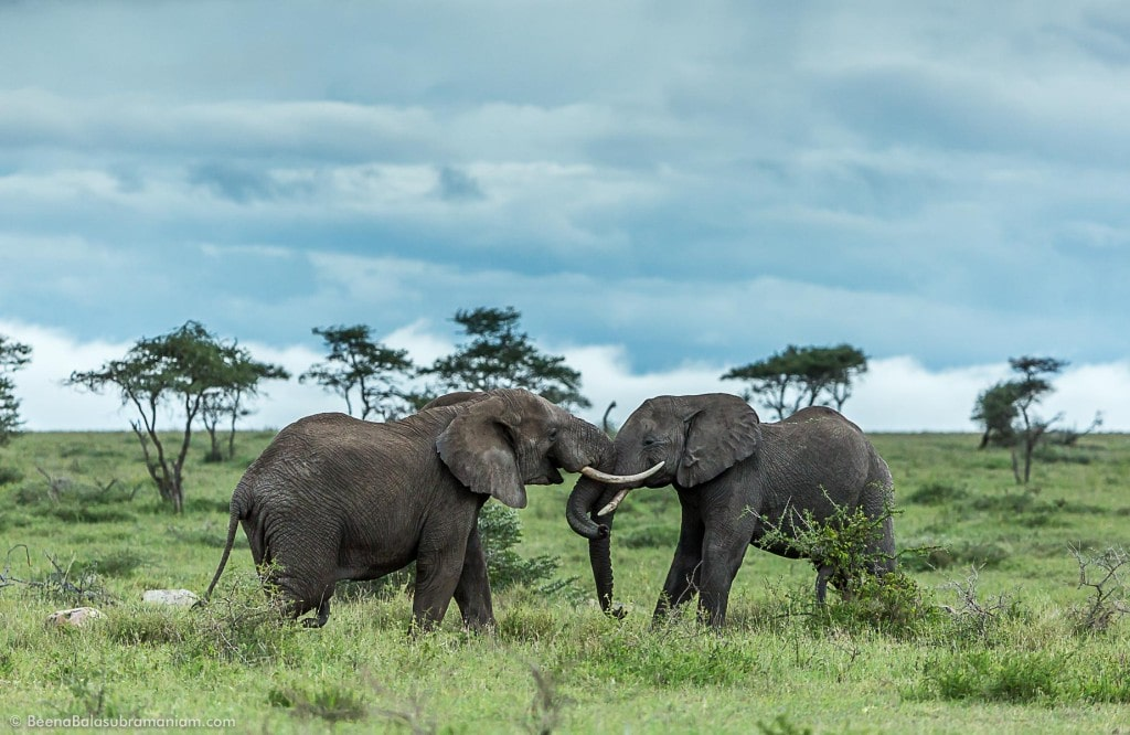 Tusker Face Off