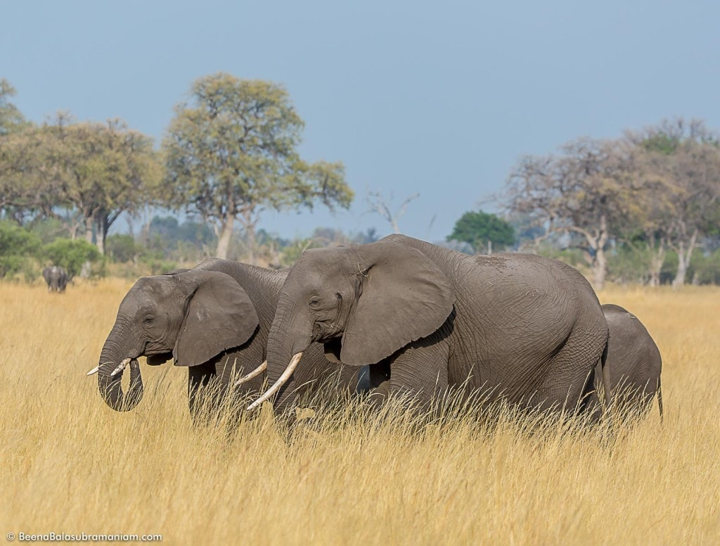 A Family in search of Water in the drying veld of Botswana