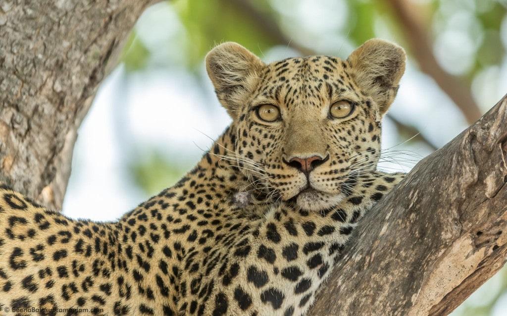 A Cool Leopardess