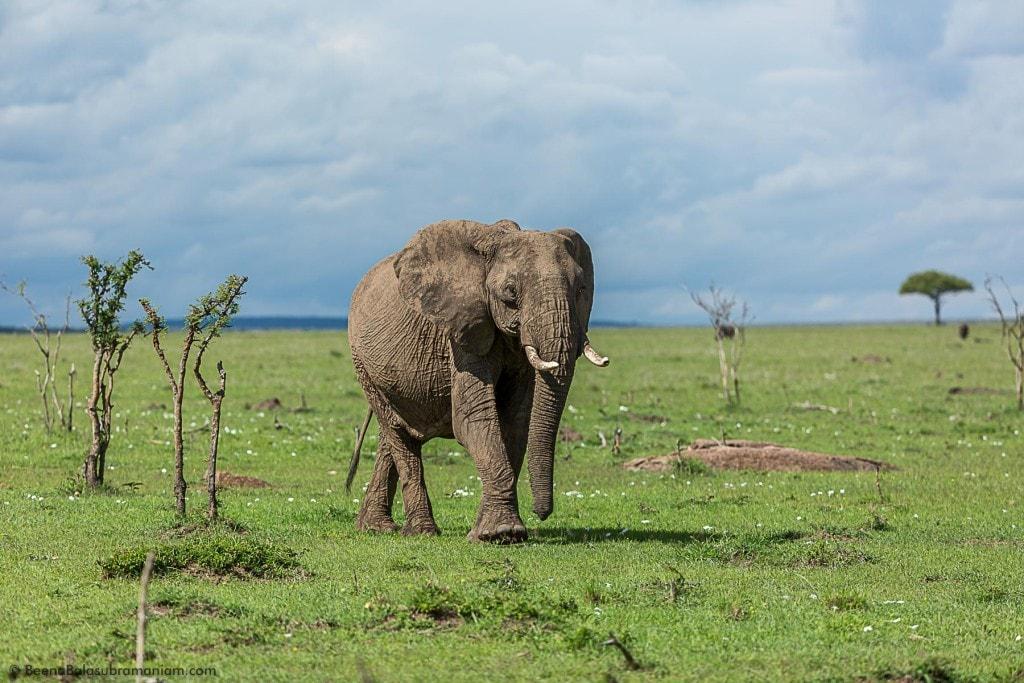 Pachyderm of the Masai Mara