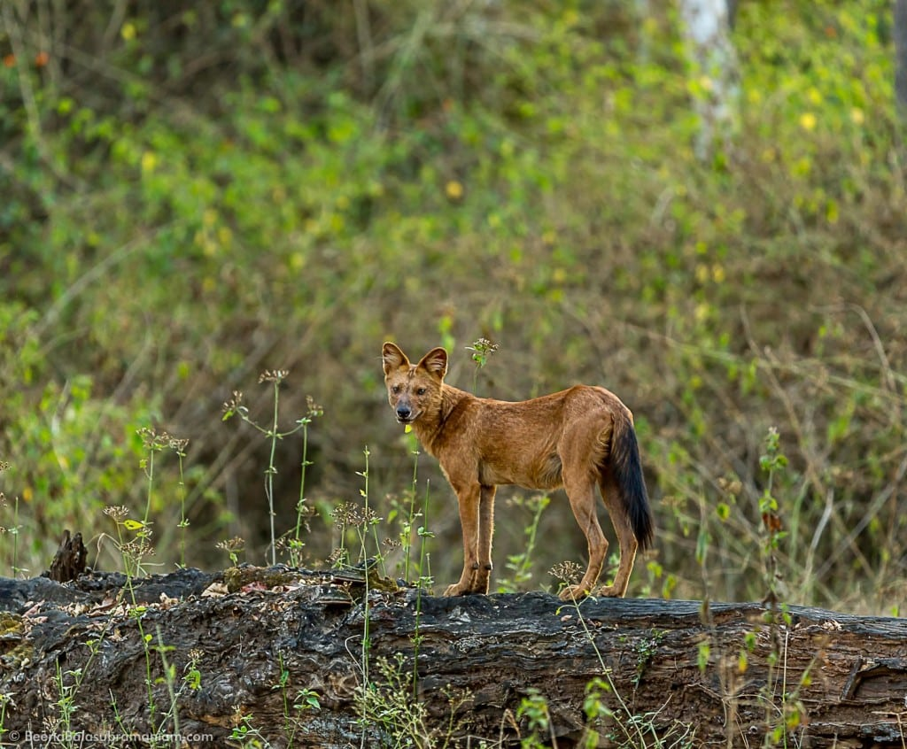 The Dhole, The Indian Wild Dog