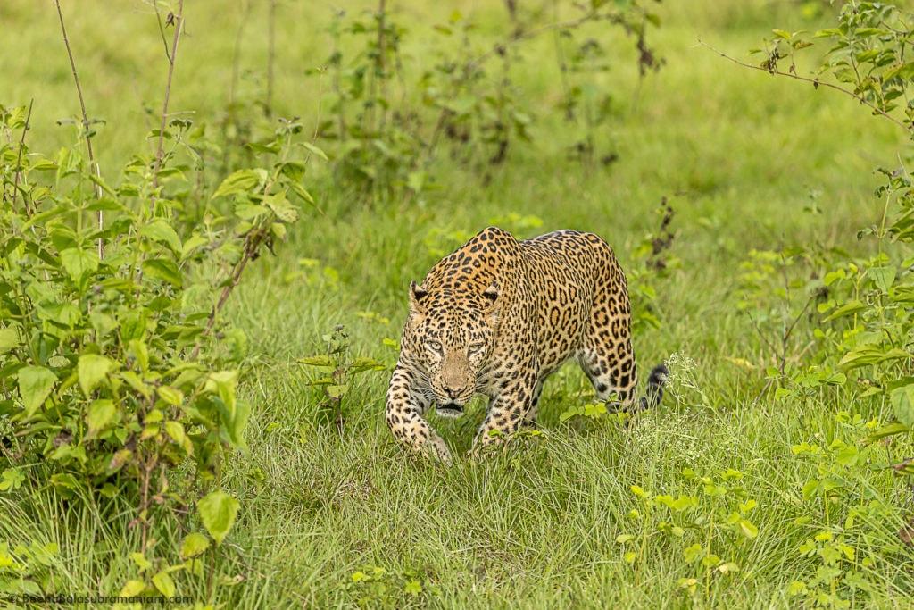 Panthera Pardus Fusca - The Indian Leopard
