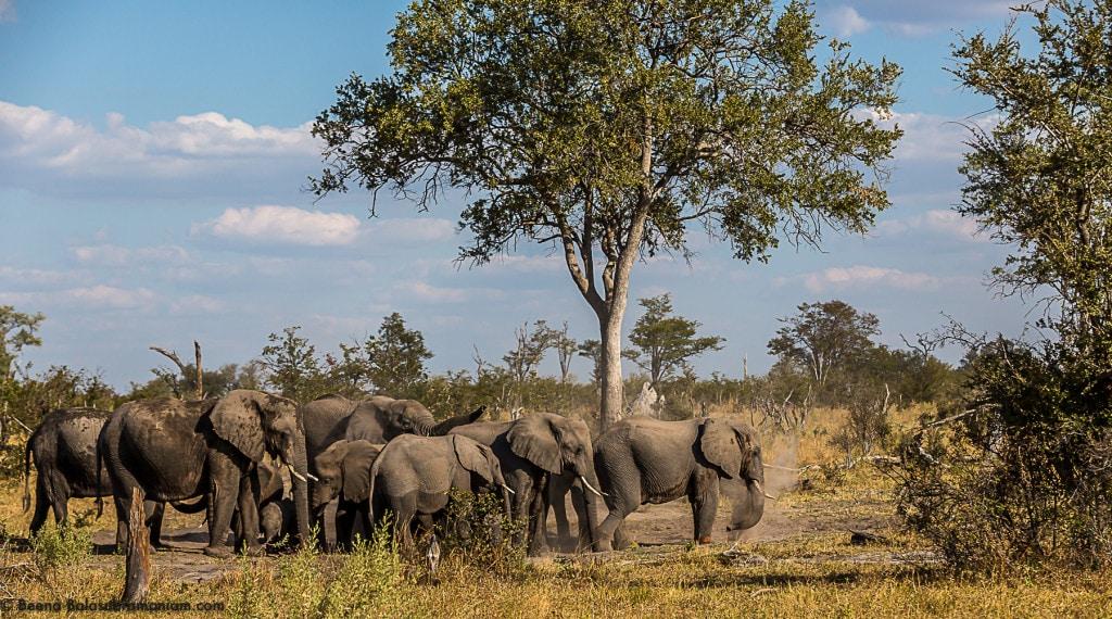 The Elephant herds of Botswana