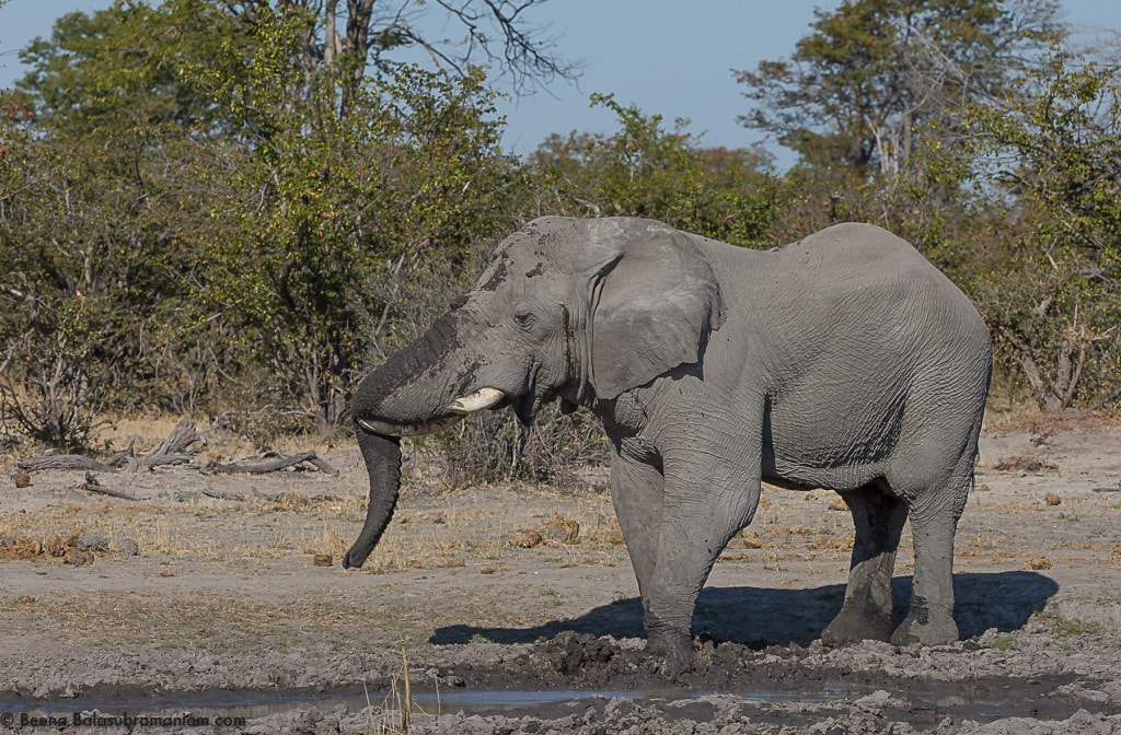 A well relaxed Elephant Bull