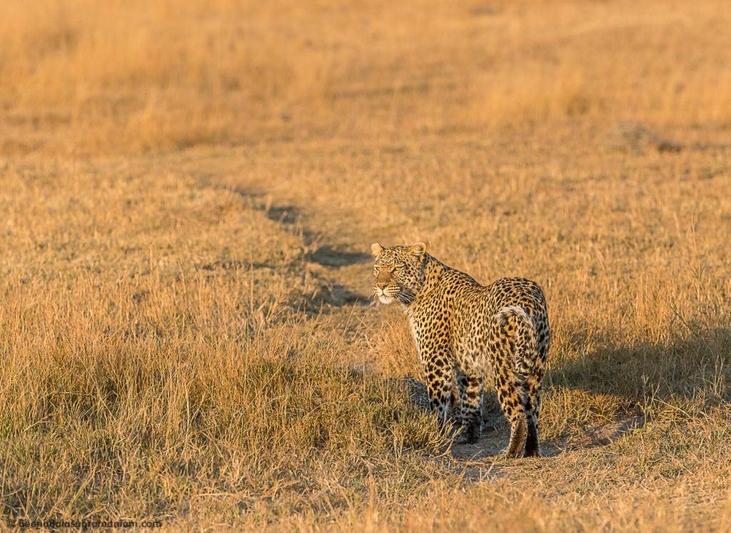 Leopardess Jane Selinda Kwando concession 2016