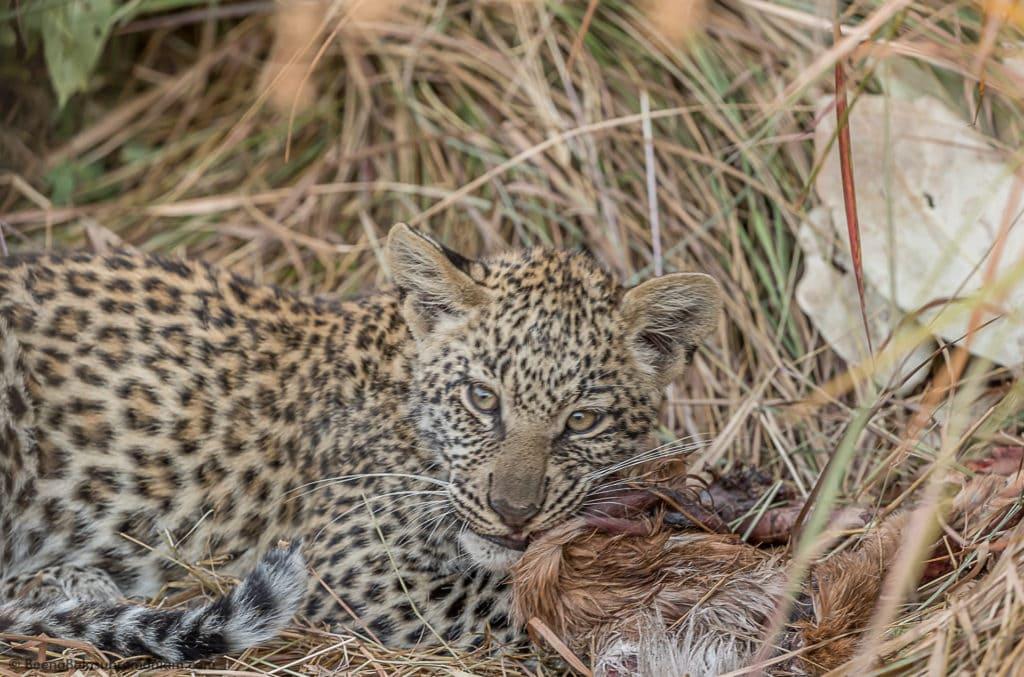 Leopard cub Kwando 2016