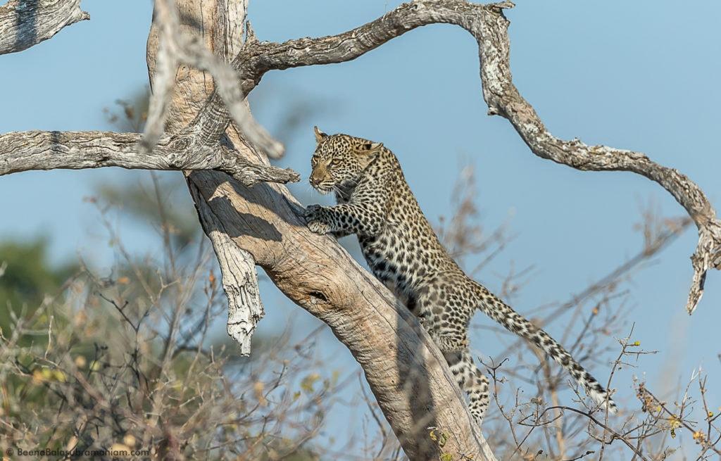 An exploring cub