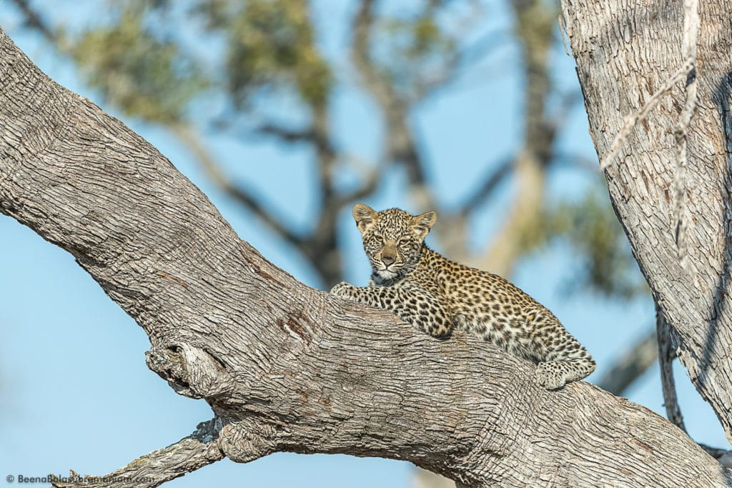 Leopard cub Male - Selinda kwando concession 2016