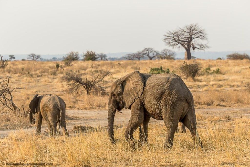 The elephants of Ruaha