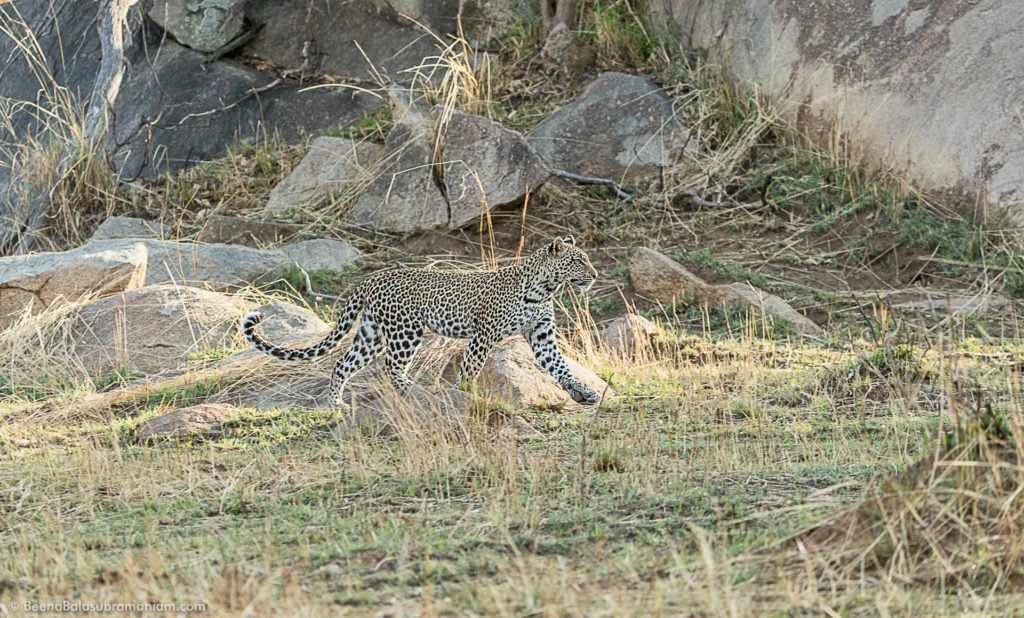 A young leopard in Kogatende Serengeti National Park