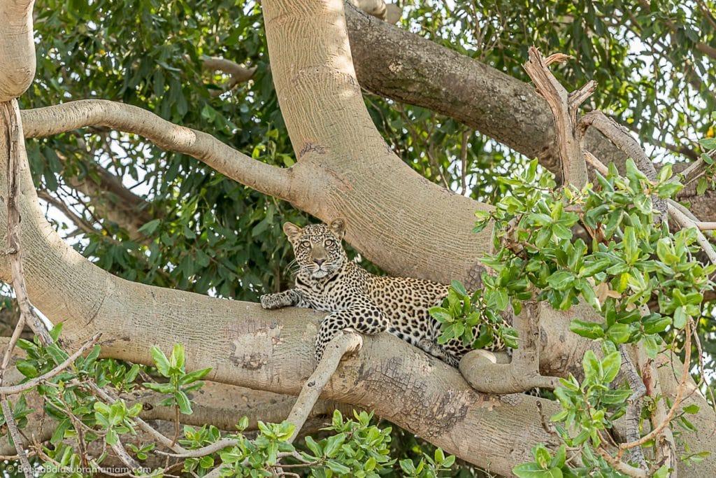 Leopard on a Tree Serengeti National park