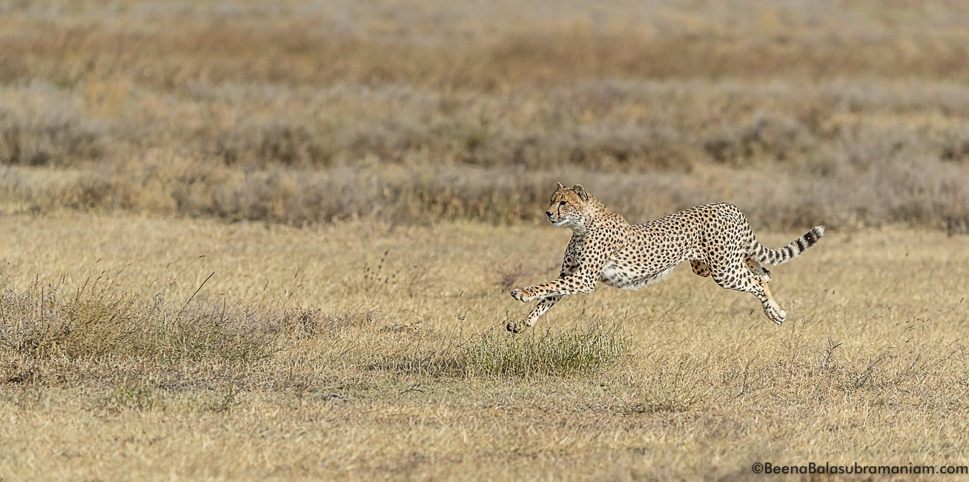cheetah sprint 5